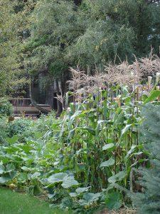 corn-garden-lo
